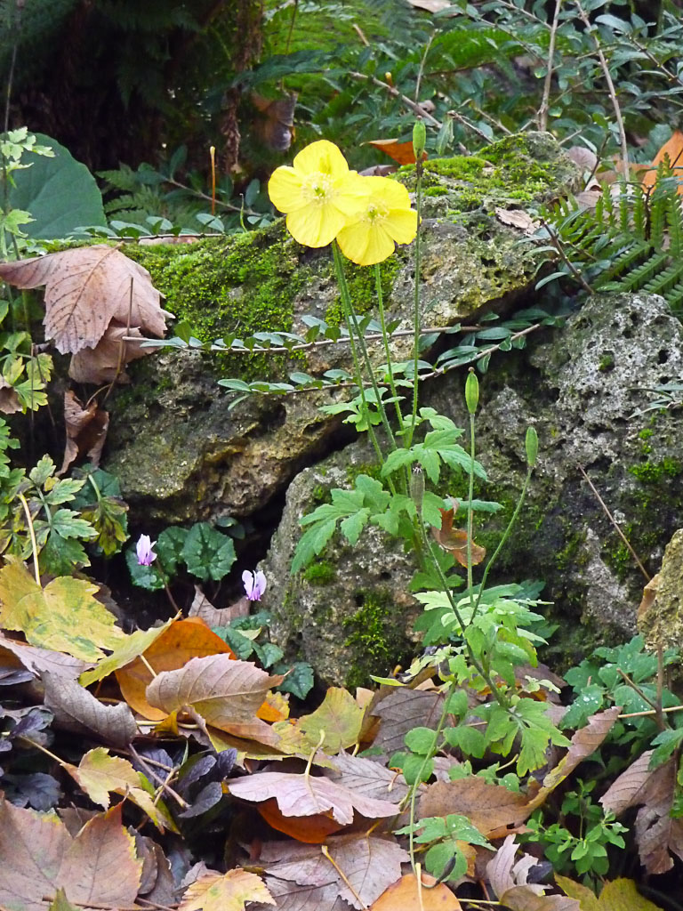 Pavot jaune et mini cyclamen dans le Parc Monceau en automne, Paris 8e (75)