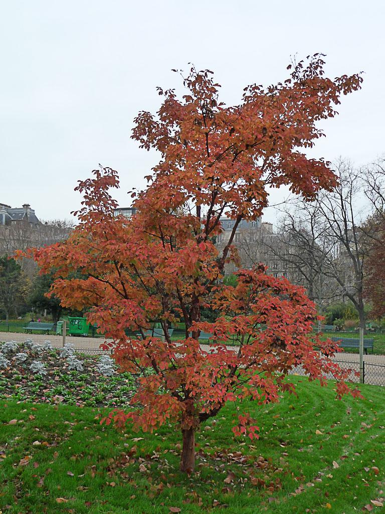 Érable dans le Parc Monceau en automne, Paris 8e (75)
