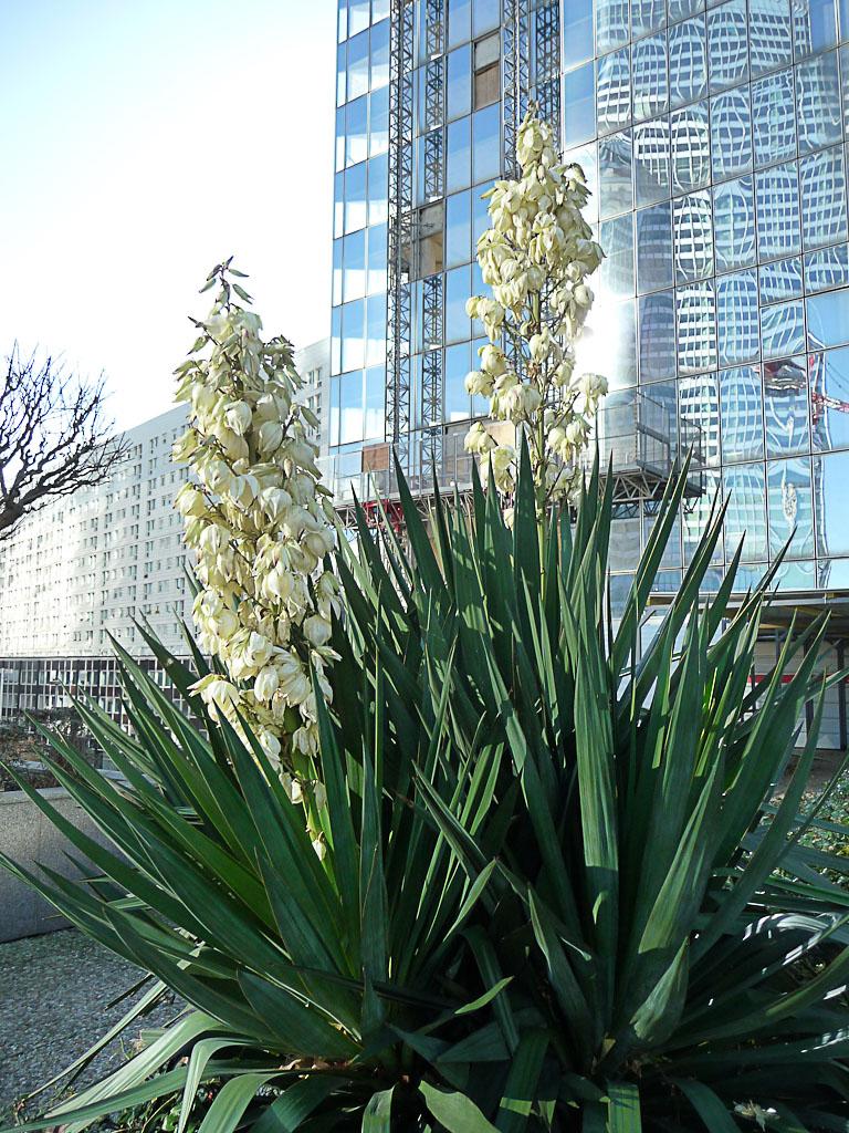 Yucca sur l'esplanade de la Défense, Puteaux (92)