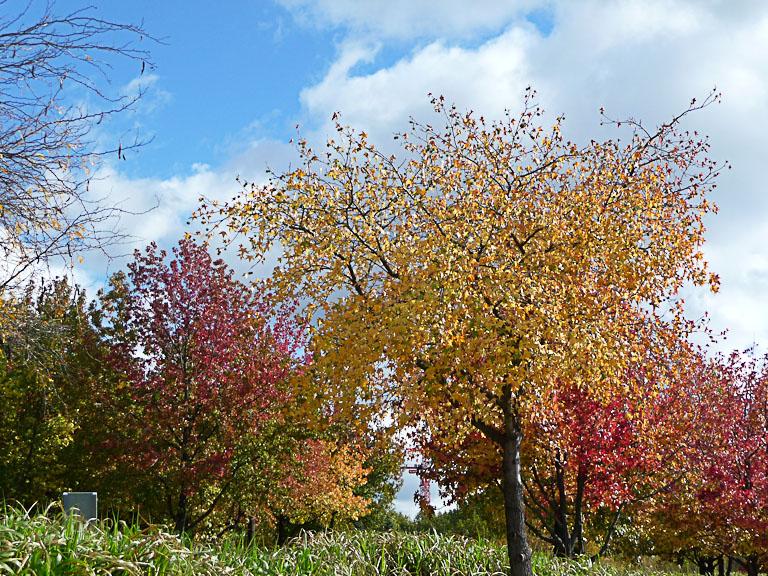 Liquidambars avec leurs couleurs d'automne dans le parc de la Villette, Paris 19e (75)