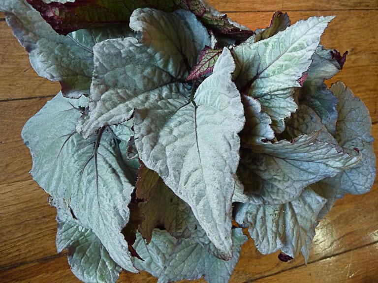 Bégonia Rex hybride à feuillage blanc argenté, plante d'intérieur