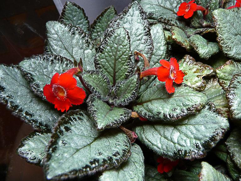 Episcia 'Silver Skies' dans un terrarium, plante d'intérieur, Gesnériacées