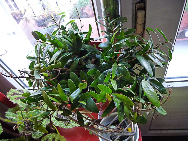 Ficus punctata, Moracées, plante d'intérieur