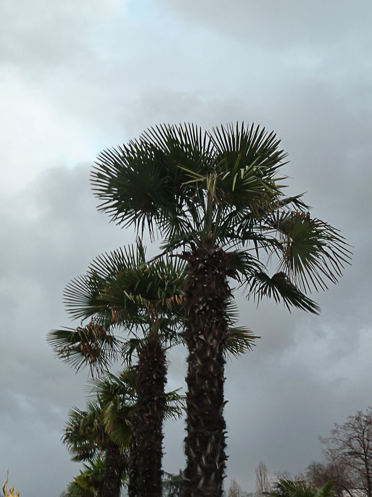 Palmier chanvre (Trachycarpus fortunei) sur fond de ciel noir et bas, porte Dorée, Paris 12e (75)