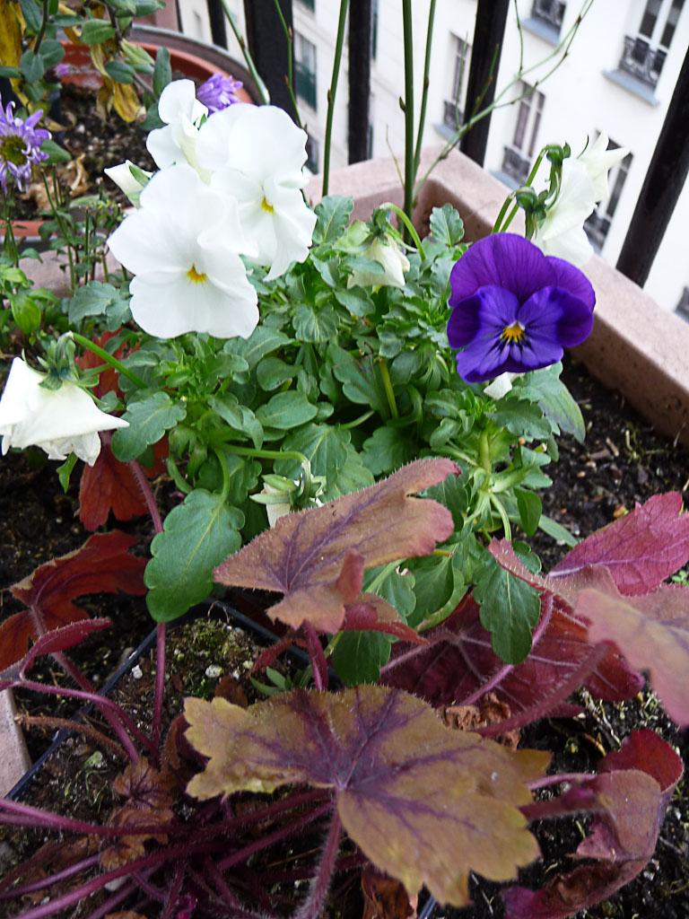 Petit pied de violette cornue sur mon balcon en fin d'automne, Paris 19e (75)