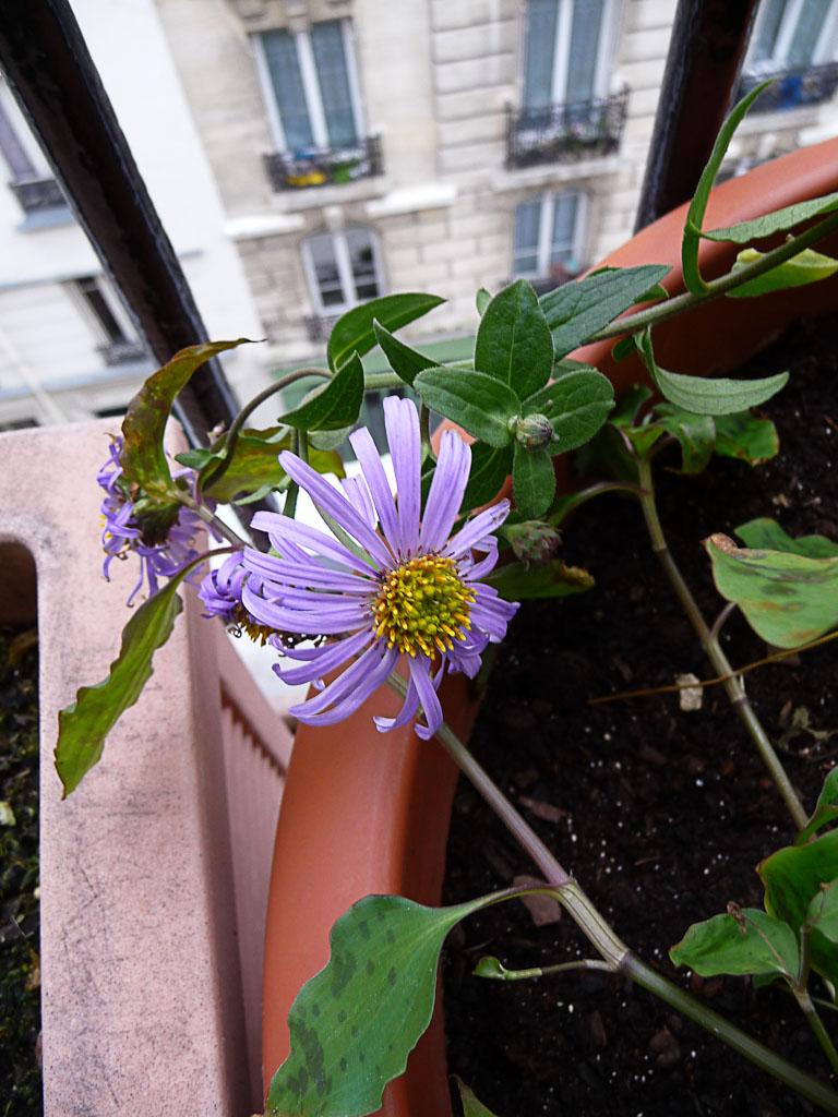 Aster x frikartii 'Mönch' sur mon balcon en fin d'automne, Paris 19e (75)