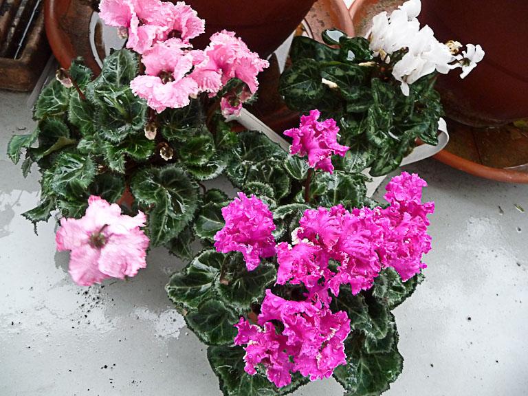 Minis cyclamens à fleurs frisottées sur mon balcon en début d'hiver, Paris 19e (75)