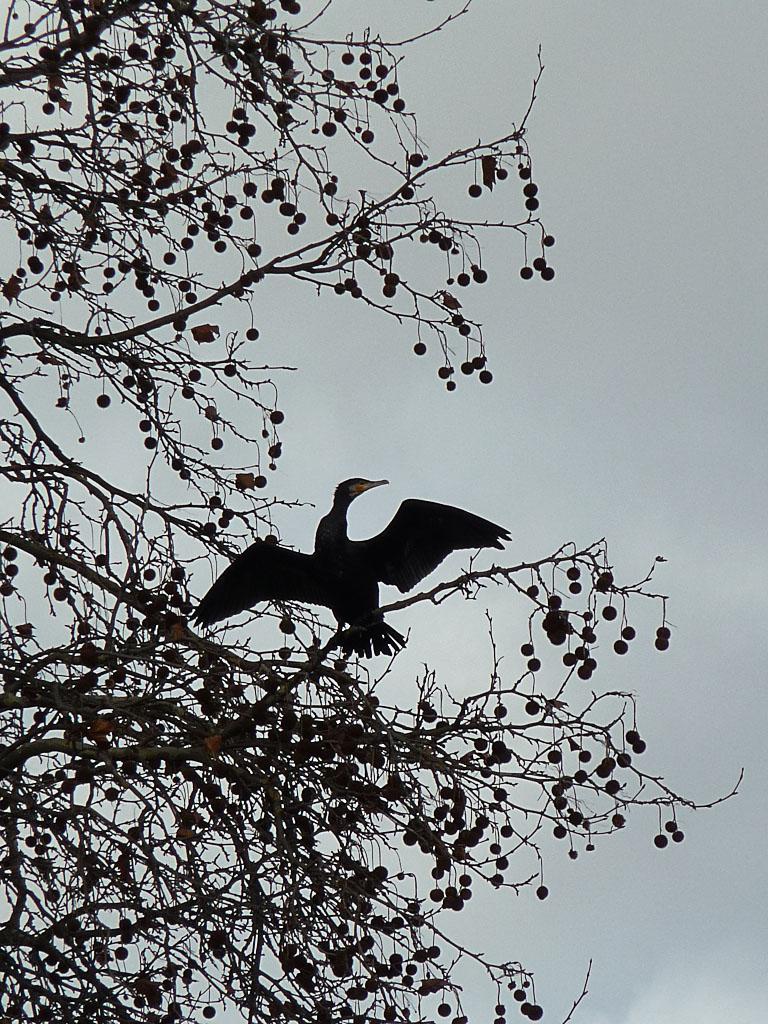 Cormoran dans un arbre du parc de la Villette près du canal de l'Ourcq, Paris 19e (75)