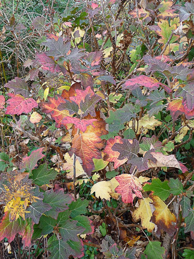 Hydrangea quercifolia avec ses couleurs d'automne en début d'hiver, Paris 19e (75)