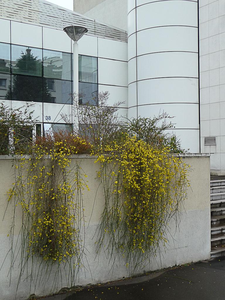 Jasmins d'hiver (Jasminum nudiflorum) en pleine floraison dans Suresnes en hiver, Hauts-de-Seine