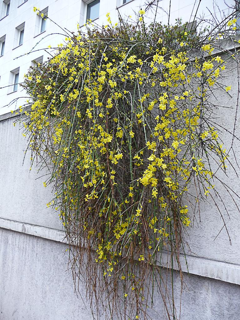 Jasmin d'hiver (Jasminum nudiflorum) en pleine floraison dans Suresnes en hiver, Hauts-de-Seine