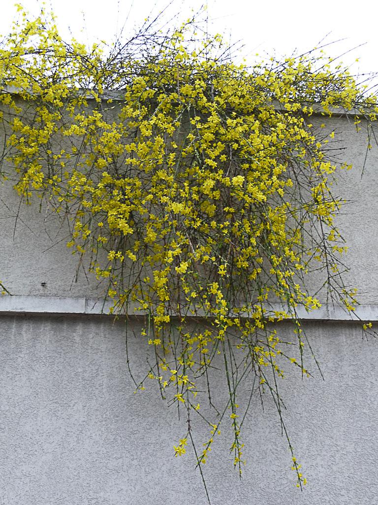 Jasmin d'hiver (Jasminum nudiflorum) en pleine floraison dans Su