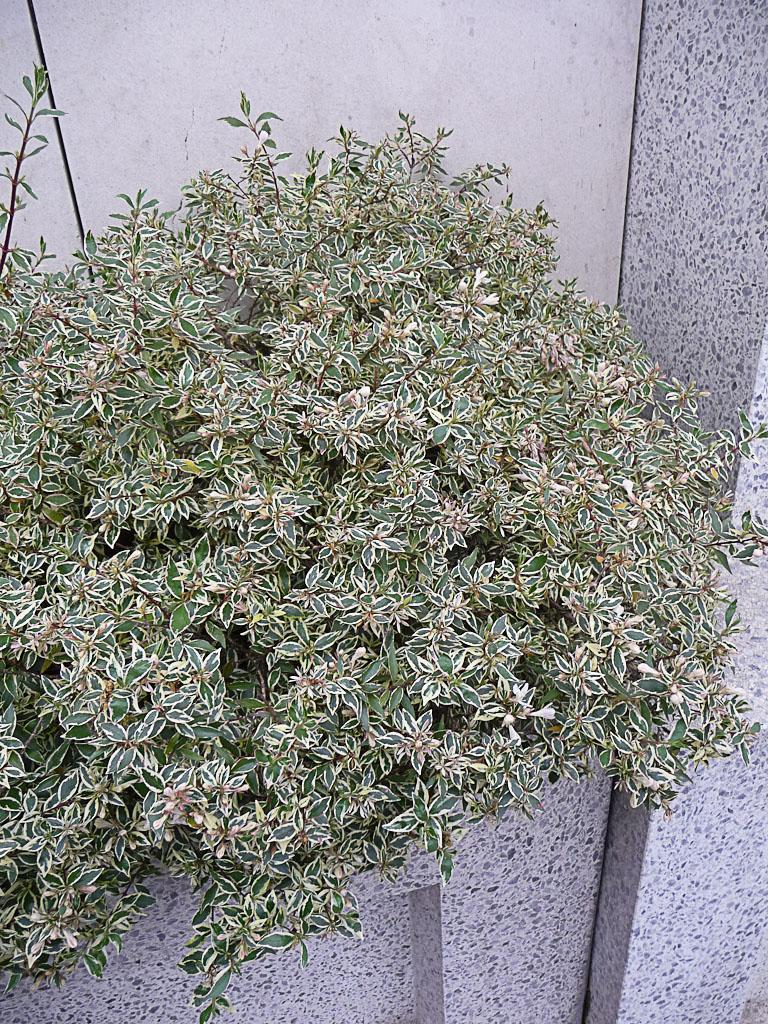 Jardinière d'Abelia x grandiflora 'Confetti' dans Suresnes en hiver, Hauts-de-Seine