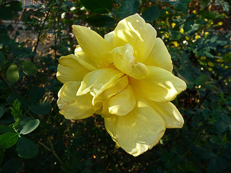 Rose jaune dans le parc de Passy en hiver, Paris 16e (75)