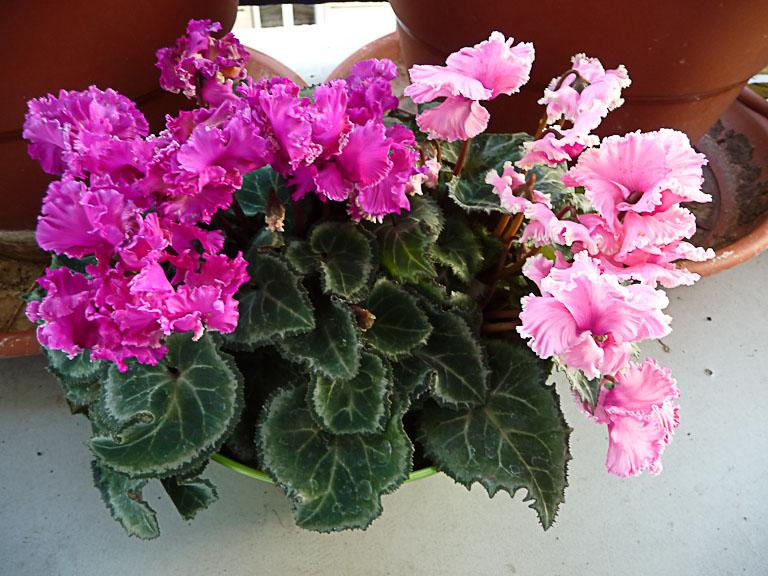 Minis cyclamens, floraison hivernale sur mon balcon, Paris 19e (75)