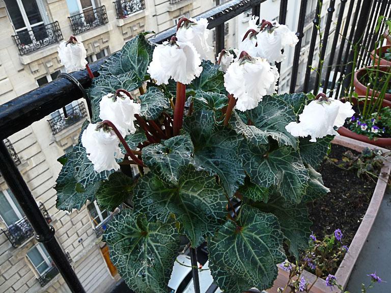 Mini cyclamen 'Bellissima', floraison hivernale sur mon balcon, Paris 19e (75)