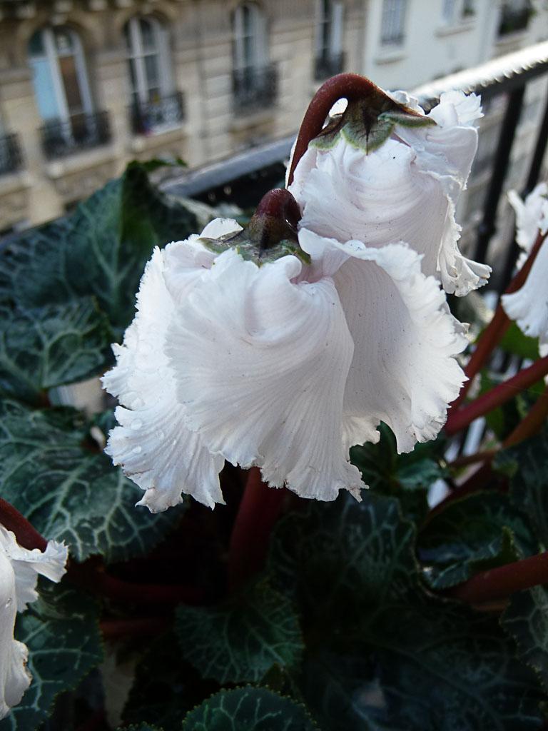 Mini cyclamen Bellissima, floraison hivernale sur mon balcon, Paris 19e (75)