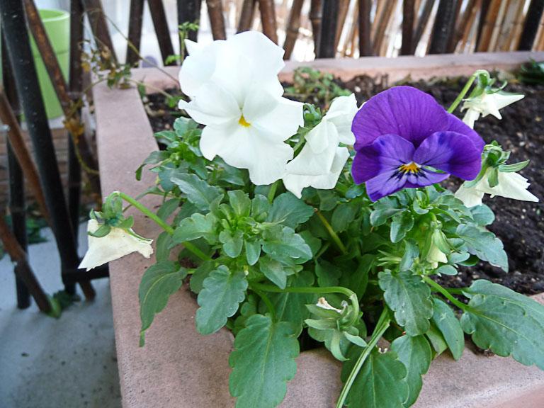 Violettes cornues, floraison hivernale sur mon balcon, Paris 19e (75)