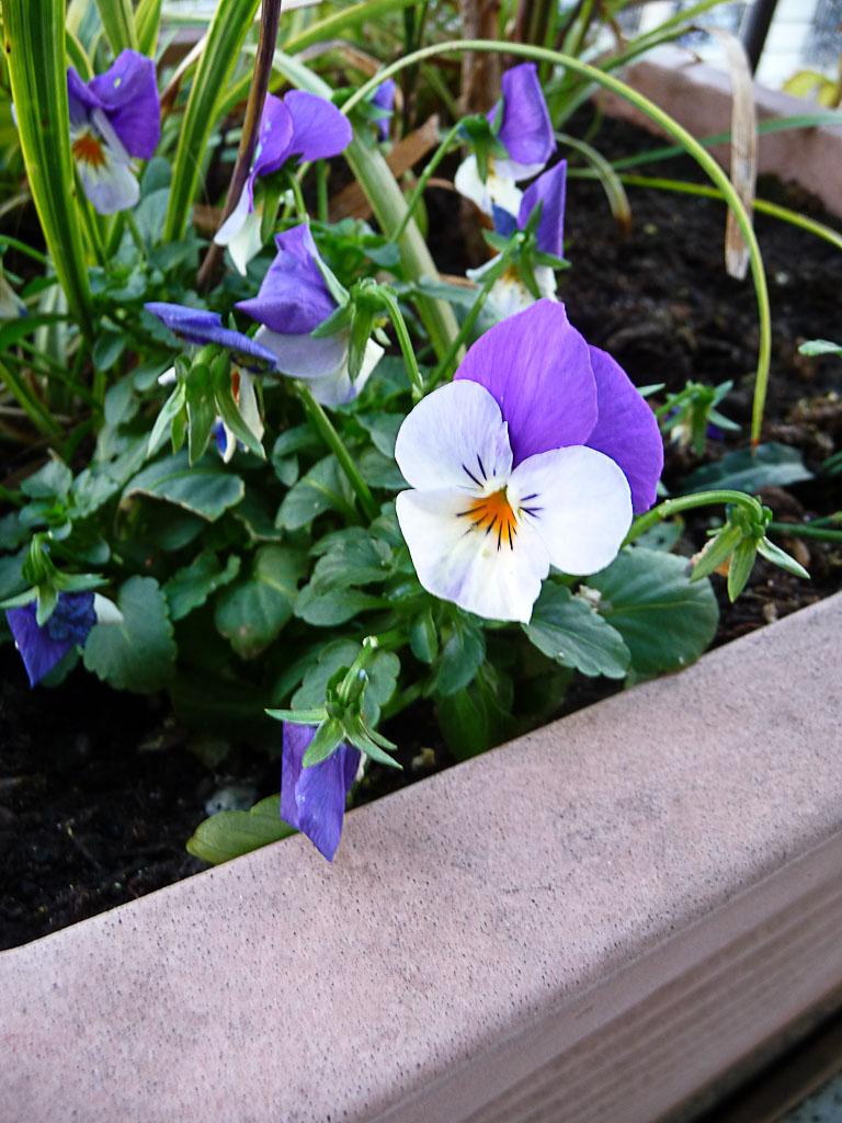 Violette cornue, floraison hivernale sur mon balcon, Paris 19e (75)