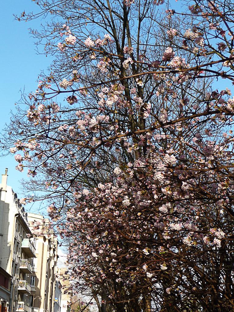 Viorne d'hiver (Viburnum x bodnantense) le long du canal Saint-Martin, Paris 10e