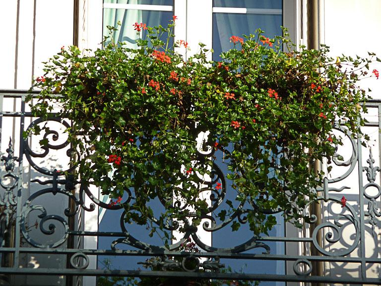 Jardinières de pélargoniums fleuris en hiver, quai de Jemmapes, Paris 10e (75)