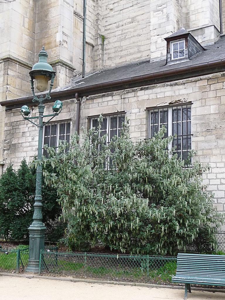 Garrya elliptica dans le square Félix-Desruelles, quartier de Saint Germain-des-Près, Paris 6e (75)