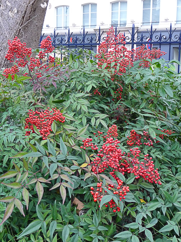 Bambou sacré (Nandina domestica) couvert de grappes de baies rouge vif, square de la Tour Saint-Jacques, Paris 4e (75)