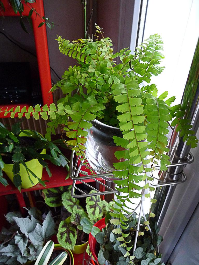Adiantum caudatum, fougère d'intérieur, plante d'intérieur