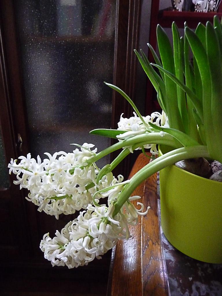 Jacinthes forcées à fleurs blanches dans ma salle à manger, bulbes forcés, Paris 19e (75)