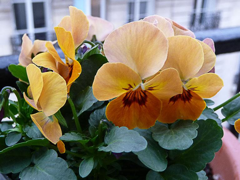 Potée fleurie de violette cornue (Viola cornuta) en plein hiver sur mon balcon, Paris 19e (75)
