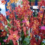 Orchidées, A.M. Orchidées, Salon international « Orchidées au pays des Incas », FFAO, 20 janvier 2013, Fondation Eugène Napoléon, Paris 12e (75), photo Alain Delavie