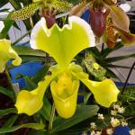 Paphiopedilum, orchidée, A.M. Orchidées, Salon international « Orchidées au pays des Incas », FFAO, 20 janvier 2013, Fondation Eugène Napoléon, Paris 12e (75), photo Alain Delavie