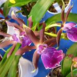 Orchidée, A.M. Orchidées, Salon international « Orchidées au pays des Incas », FFAO, 20 janvier 2013, Fondation Eugène Napoléon, Paris 12e (75), photo Alain Delavie