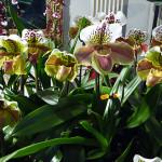 Paphiopedilum, orchidée, Salon international « Orchidées au pays des Incas », FFAO, 20 janvier 2013, Fondation Eugène Napoléon, Paris 12e (75), photo Alain Delavie