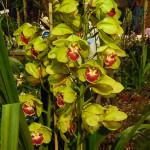 Cymbidium, orchidée, Salon international « Orchidées au pays des Incas », FFAO, 20 janvier 2013, Fondation Eugène Napoléon, Paris 12e (75), photo Alain Delavie
