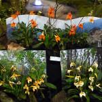 Masdevallia, orchidée, Salon international « Orchidées au pays des Incas », FFAO, 20 janvier 2013, Fondation Eugène Napoléon, Paris 12e (75), photo Alain Delavie