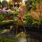 Bulbocodium, orchidée, Salon international « Orchidées au pays des Incas », FFAO, 20 janvier 2013, Fondation Eugène Napoléon, Paris 12e (75), photo Alain Delavie