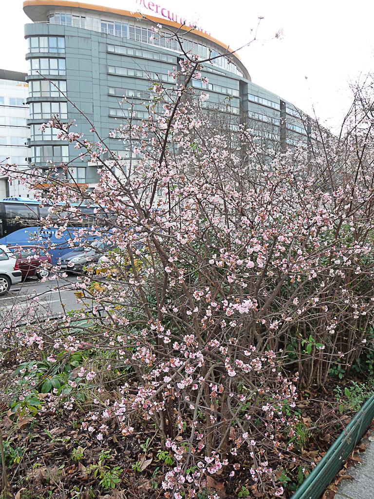 Viorne d'hiver (Viburnum x bodnantense) le long de l'avenue Jean Jaurès Paris 19e