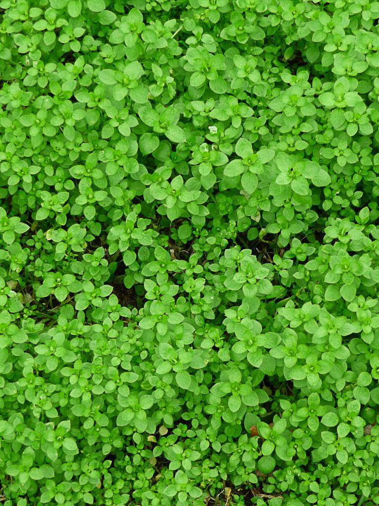 Semis spontanés de mauvaises herbes dans Puteaux en hiver, Hauts-de-Seine