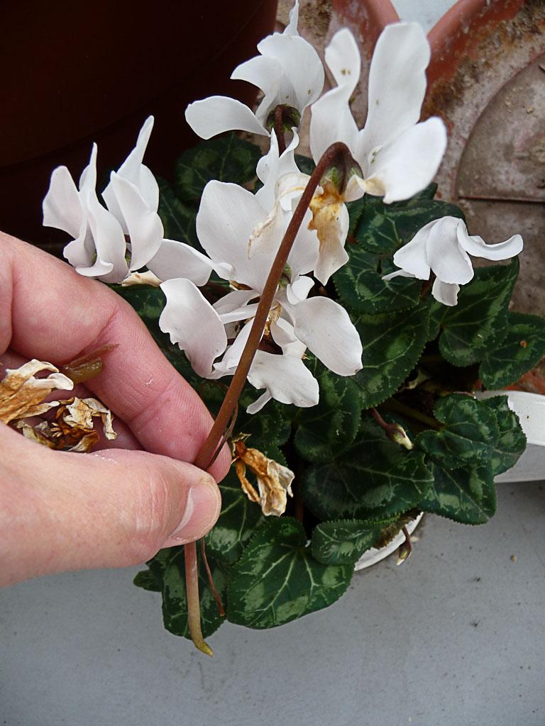 Nettoyage d'une potée de mini cyclamen : ôter les fleurs fanées, sur mon balcon en hiver, rue de Nantes, Paris 19e (75)