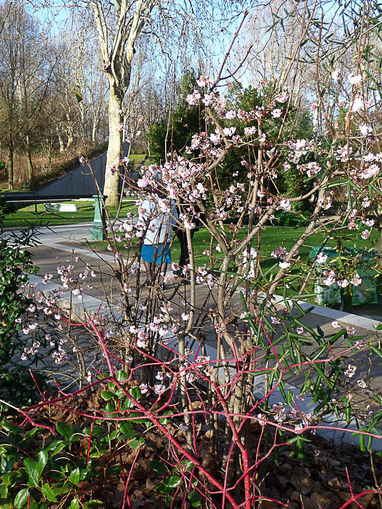 Viorne d'hiver (Viburnum x bodnantense) dans le parc de Bercy en hiver, Paris 12e (75)