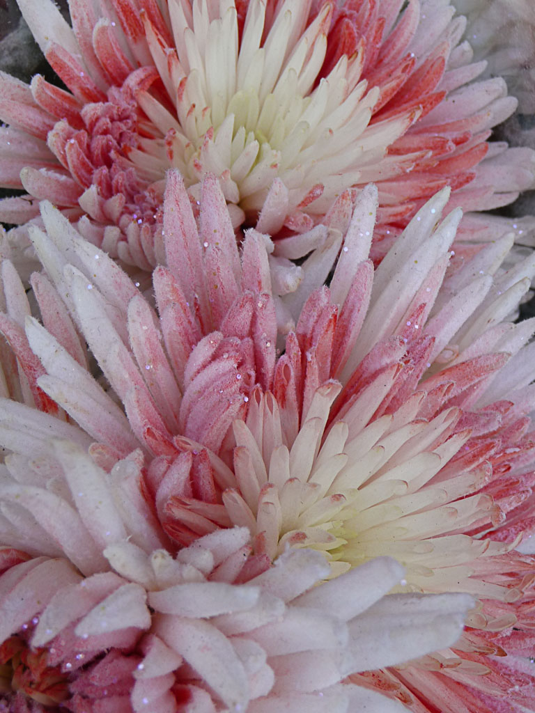 Bouquet de fleurs (chrysanthèmes teintés), jardinerie Truffaut, Paris 13e (75)