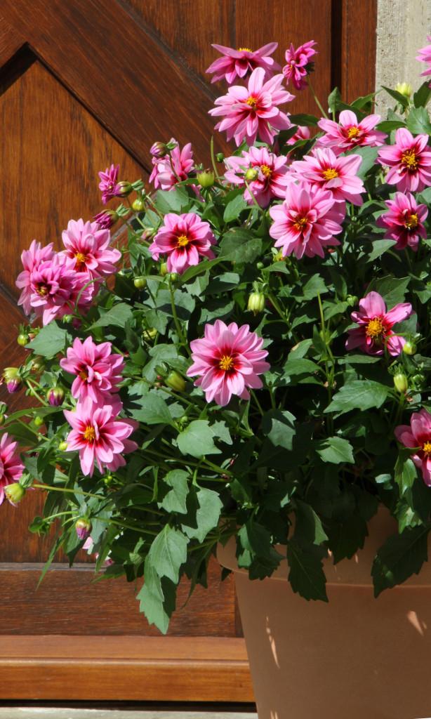 Dahlia cultivars sel® 'Dalaya Yogi', médaille d'or Fleuroselect 2013