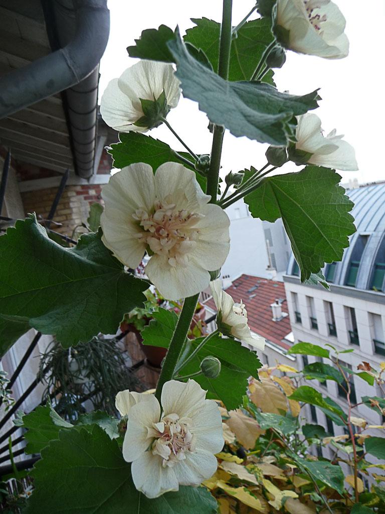 Alcathea suffrutescens 'Park Allée' sur mon balcon en été, Malvacées, 8 juillet 2011, photo Alain Delavie