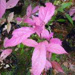 Callicarpa membranacea, Pépinières des Avettes, Journées des Plantes automne, Domaine de Courson, Essonne