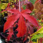 Feuillage rouge d'Hibiscus x moscheutos 'Summer Storm', Malvacées, Pépinière Fleurs du Sud, Journées des Plantes automne, Domaine de Courson, Essonne