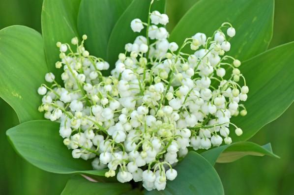 Bouquet de muguet, photo © Hellen Sergeyeva - Fotolia.com.jpg