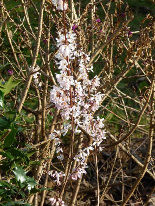 Abeliophyllum, Levallois (92)