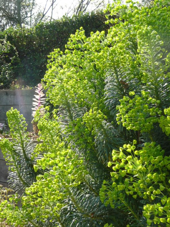 Euphorbia characias fleurie dans le parc de Bercy au début du printemps, Paris 12e (75)