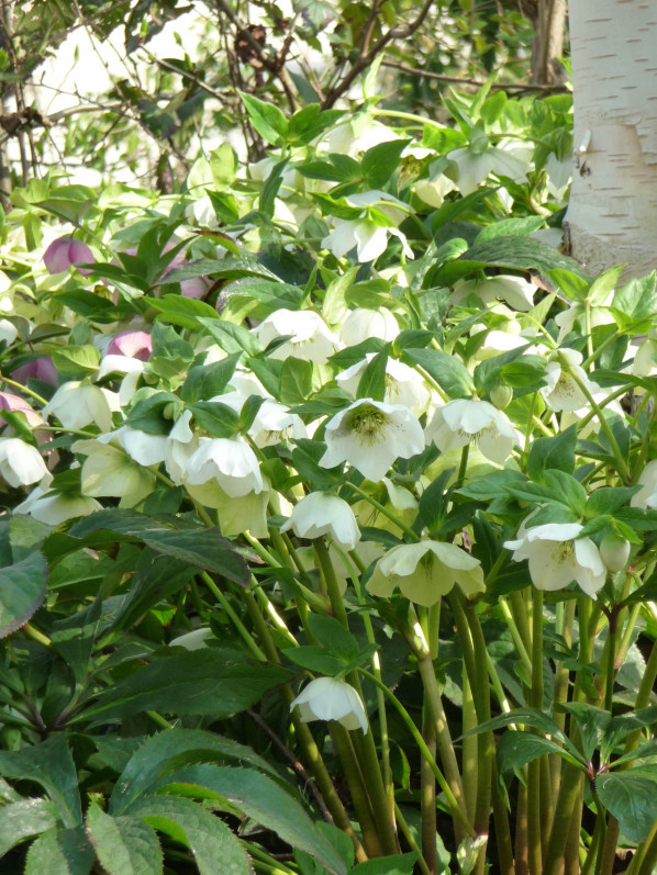 Hellébores d'Orient (Helleborus orientalis) en fleur dans le parc de Bercy au début du printemps, Paris 12e (75)